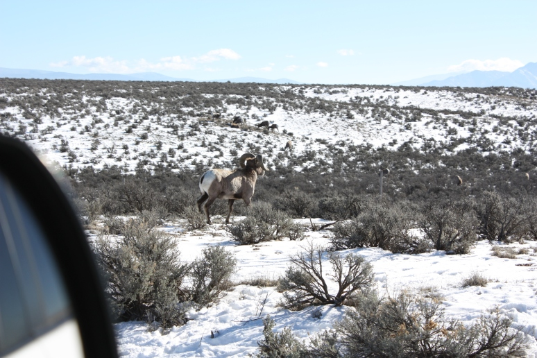 Bighorn ram making his getaway.