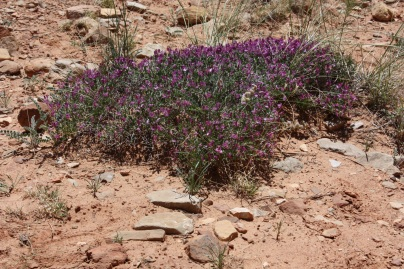 Shrub, Capitol Reef